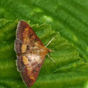 Orange mint moth