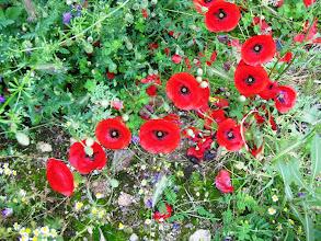 Photo: Yleisin (?) kukka Ohridin seudulla