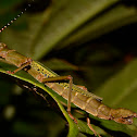 Stick Insect, Phasmid - Male & Female
