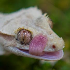 Licking rain drops by Chris Seaton - Animals Reptiles ( rain drops, nature, tongue, lizard, licking )