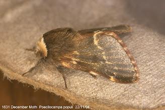 Photo: December Moth