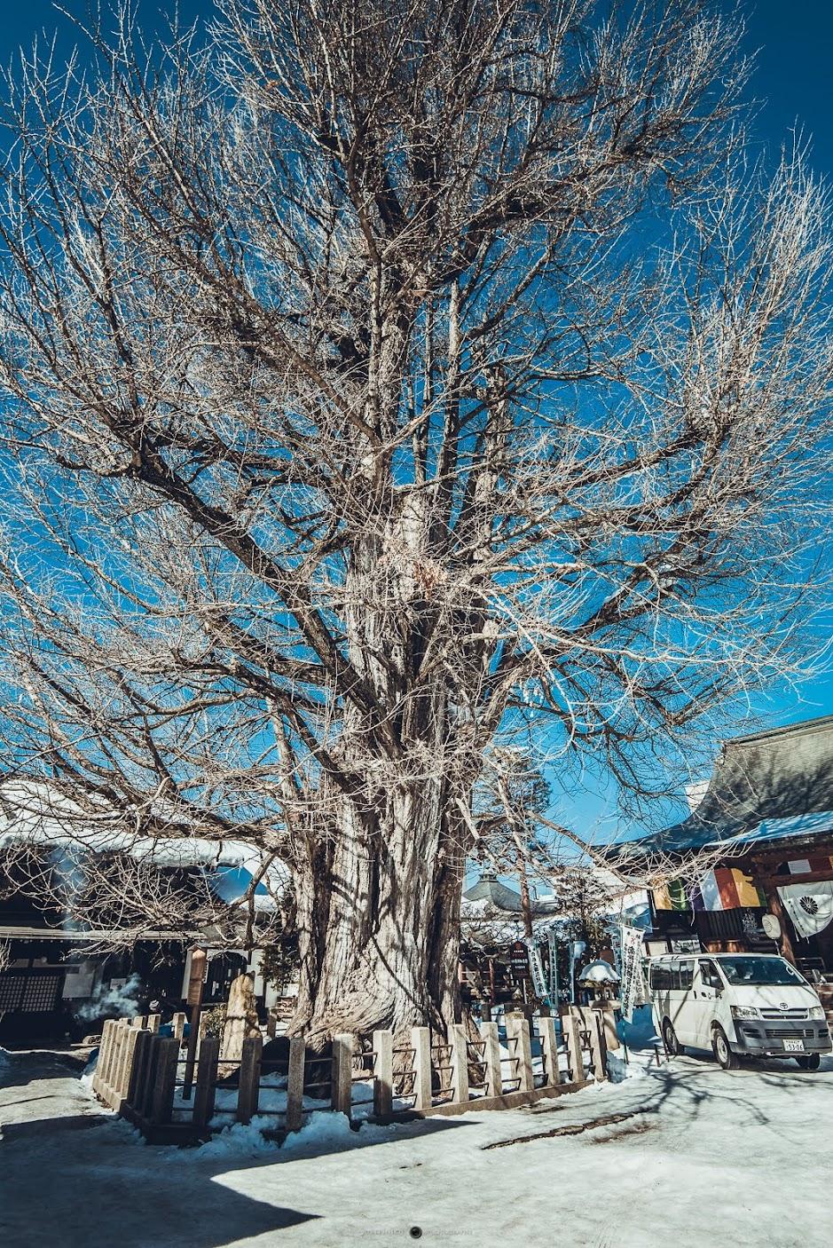 寺內巨大的銀杏樹樹齡超過千年,即便是冬天只剩殘枝還是非常壯觀。