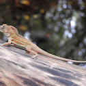 Hispaniolan stout anole, large-headed anole