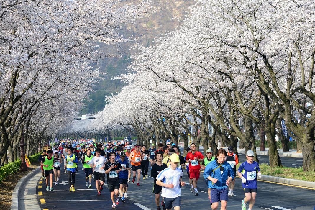Chạy marathon giữa rừng hoa anh đào nở