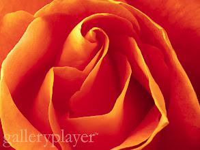 Photo: Close Up of Orange Flower ca. April 1997