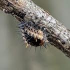 Twice-Stabbed Lady Beetle Pupa