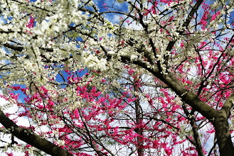 Photo: Pink and white flowered trees make a wonderful pattern