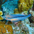 Princess Parrotfish ♂️