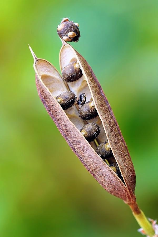 Bean by Taufiq Hidayat - Nature Up Close Other plants