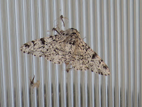 Photo: 30 Jun 13 Priorslee Flash: A splendid Peppered Moth on one of the lamps at The Flash: seems it is too large for the spiders that seem to have had a field day with all the midges! (Ed Wilson)