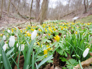 Photo: Yellow and white flowers on the forest floor at Wegerzyn Park in Dayton, Ohio.