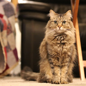 Bella by Jake Tazelaar - Animals - Cats Portraits ( pretty, cat, fluffy, eyes, furry )