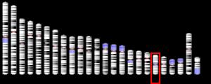 Chromosome 19 (human)