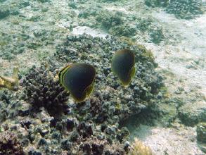 Photo: Chaetodon baronessa (Eastern Triangular Butterflyfish), Naigani Island, Fiji