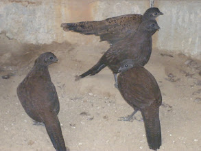 Photo: close-up of 3 bronzetailed and 1 malay peacock pheasant - palawan and bronzetailed look very similar at this age.