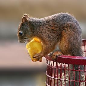 heute mal keine Nüsse by Elke Krone - Animals Other Mammals (  )