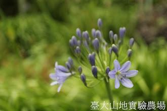 Photo: 拍攝地點: 梅峰-溫帶花卉區外 拍攝植物: 百子蓮 拍攝日期:2012_05_26_FY