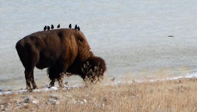 Photo: Bison & Birdies