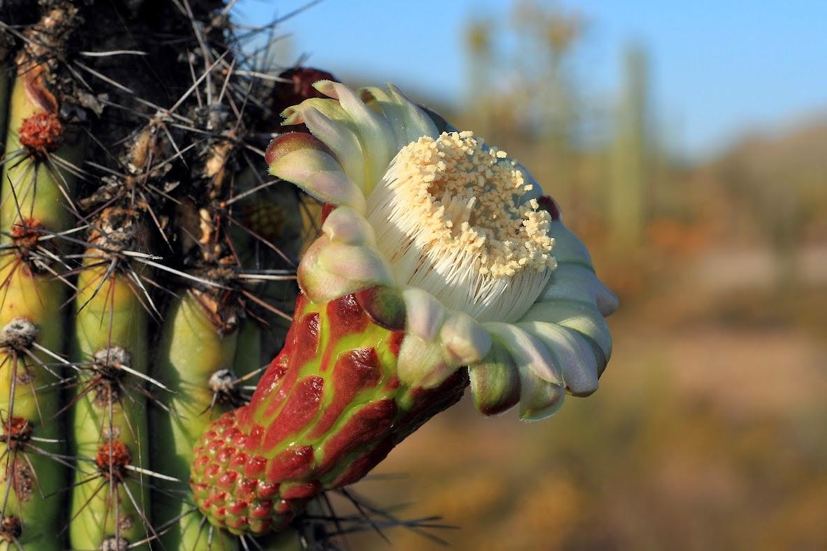 Цветы органного кактуса