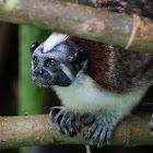 Tití panameño (Geoffrey's tamarin)