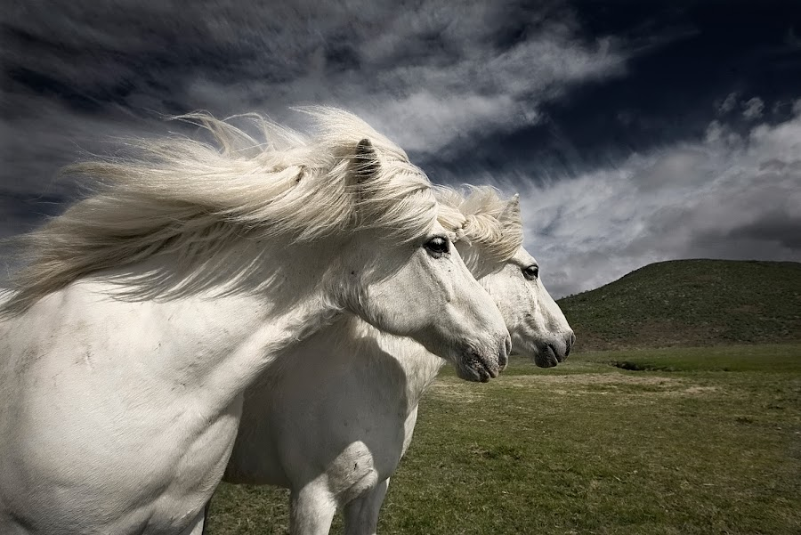 Interplay by Bragi Ingibergsson - Animals Horses ( iceland, animals, nature, horses, brin, bragi j. ingibergsson,  )
