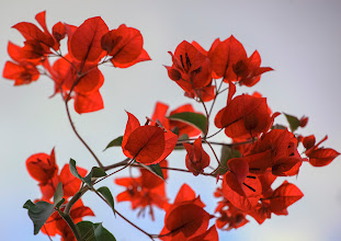 """Photo: Facing the Cold, Brightly - No matter the cold and overcast skies here in """"sunny Arizona"""", this time of year the red bougainvilla bushes are in full bloom and color.  This bough is perking up above the roof of my home."""