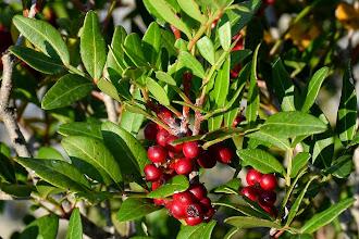 Photo: Lentisco (Pistacia lentiscus)