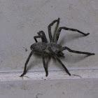 Rain Spider?