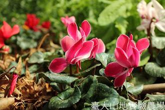 Photo: 拍攝地點: 梅峰-溫帶花卉區 拍攝植物:迷你仙客來 拍攝日期:2013_02_15_FY