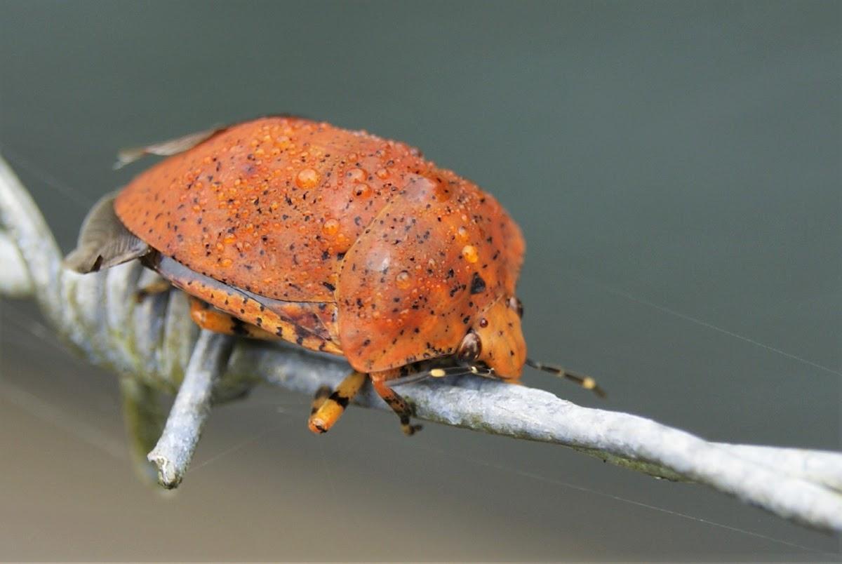 Orange Shield-backed bug