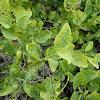 Caper bush (Κάππαρις η ακανθώδης)
