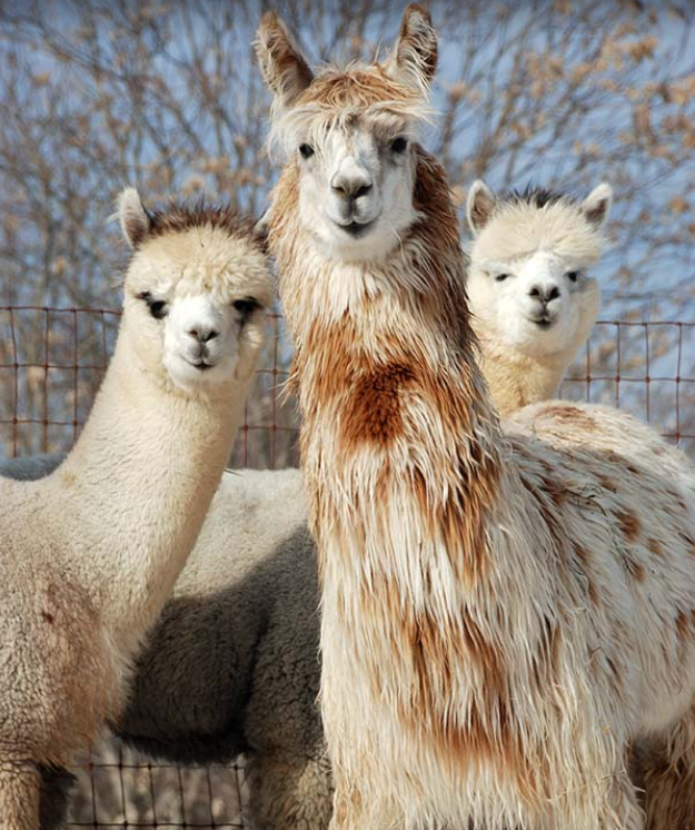 alpacas in aquasco