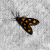 Arctid Moth (Male)