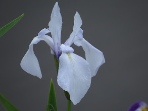Photo: 29 Jun 13 Priorslee Flash: Been after one of these for a while: the very pale form of Blue Flag Iris. At The Flash the previous flower was where I could not get an angle for a photo: but another flower in this delicate colour has emerged (Ed Wilson)