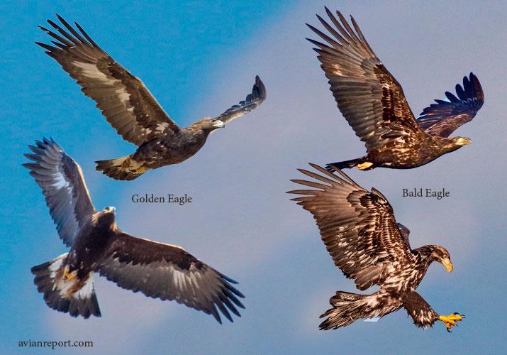 juvenile balde eagle