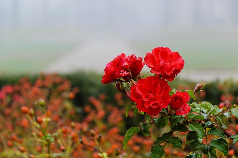 Rose Rosse di MrSpock