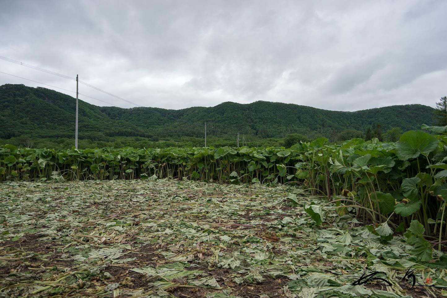 ラワンぶき畑