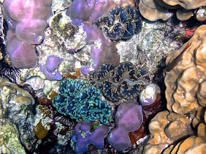 Photo: beautiful trio of giant clams