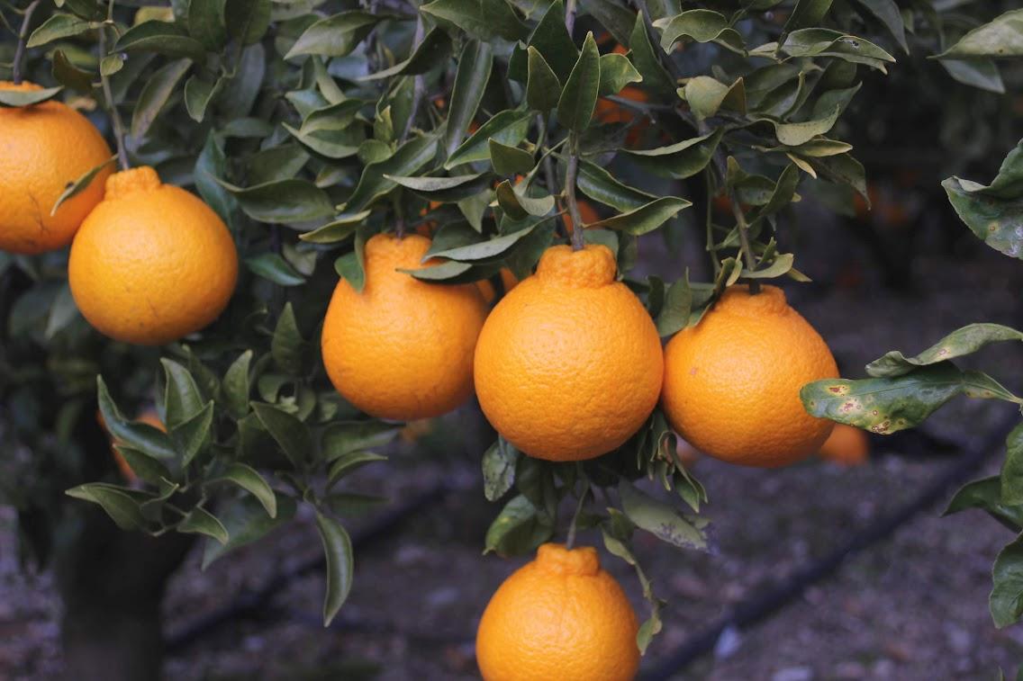 春柑橘の生育状況。
