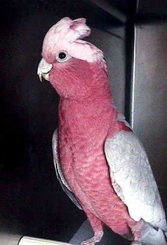 The rose-breasted cockatoo or galah is considered a pest in its native Australia, where free-anging birds are captured for the pet trade