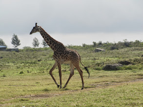 Photo: Giraffe
