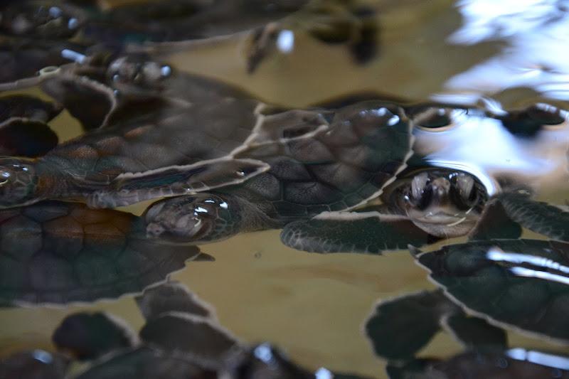 Baby turtles. di valeventimiglia