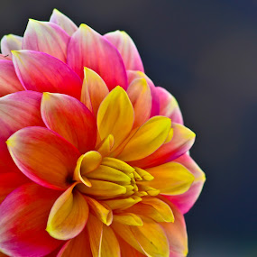 Dahlia by Curly Yanni - Nature Up Close Flowers - 2011-2013 ( dahlia curl cool, flower, nature, flowers,  )