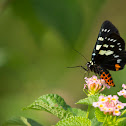 Rose Moth