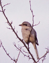 Photo: Adult Northern Shrike in the Wallowa Valley
