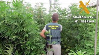 La Guardia Civil ha localizado 3.000 plantas de marihuana.