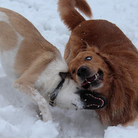 Snow Day by Michiale Schneider - Animals - Dogs Playing ( golden retriever, snow, dogs, animal, canine, playing, mutt )
