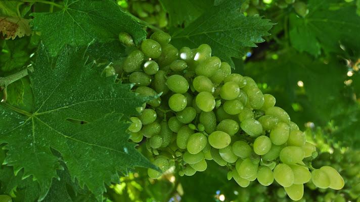 Green grapes di luiker