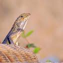 Oriental garden lizard.