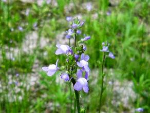 Photo: 紫色の小さな花が・・。